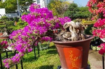 ngam nhung cay hoa giay khung co gia hang chuc trieu dong