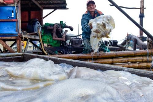 Ngư dân Thanh Hóa trúng đậm mùa sứa biển