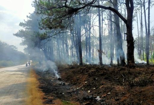 Hàng trăm cây thông bị đốt cháy sau khi bị khoan gốc, hạ độc