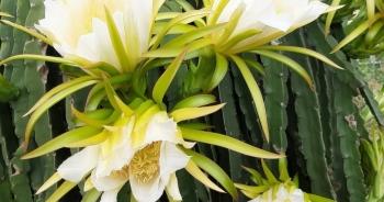 Ngỡ ngàng khoảnh khắc vườn thanh long bung nụ trắng hồng tuyệt đẹp