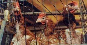 WHO, FAO khuyến cáo Việt Nam cảnh giác cúm H5N8 lây từ gia cầm sang người