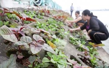 """Ám ảnh rau bẩn, người Hà Nội rủ nhau trồng rau """"hốc đá"""" quanh hồ Tây"""