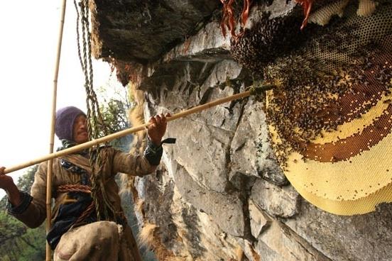 Nghề săn mật ong lâu đời của người dân Nepal