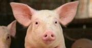 """Giá lợn xuống thấp: Khách mua mừng vui, người nuôi """"ốm đòn"""""""